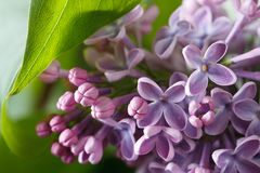 Sprig of purple lilac blooming with flowers and buds close up Royalty Free Stock Photos