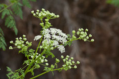 Sprig of Queen Anne's Lace. Beautiful sprig of Queen Anne's Lace Stock Photo