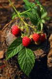 Sprig Raspberry berries Royalty Free Stock Photo