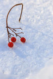Sprig of red cranberries in the snow, background Stock Photos