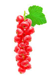 Sprig of red currant. Stock Photos