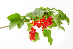 Sprig of red currants Royalty Free Stock Photography