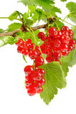 Sprig of red currants Royalty Free Stock Image