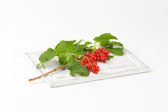 Sprig of red currants Stock Image