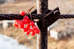 Sprig of red viburnum hanging on metal rusty compounds. Mechanisms and berries stock images