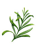 Sprig of rosemary. Watercolor illustration. On a white background Stock Photos
