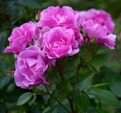Sprig of roses Royalty Free Stock Photos