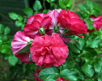 Sprig of roses Royalty Free Stock Images