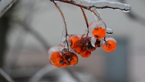 Sprig of rowan with berries is covered by ice stock video