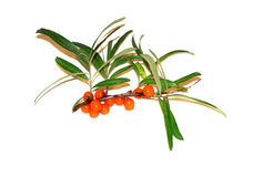 Sprig of sea buckthorn berries on a white background Royalty Free Stock Photos