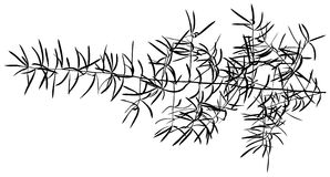 Sprig Silhouette. Sprig - Black Detailed Silhouette, Vector Stock Image