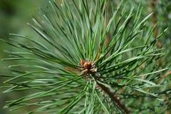 Sprig sosny.Fragment. Detail of sunlit pine branch Stock Image
