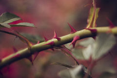 Sprig with spikes on background of greens.Selective focus, toned image, film effect, macro. Thorns on a branch of roses on background of greens.Selective focus Royalty Free Stock Images