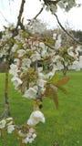 Sprig of spring cherry blossom Stock Image