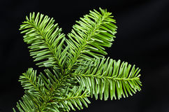 Sprig of spruce Stock Photography