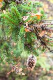 Sprig of spruce close-up on a blurry background of the autumn forest. Whatever the season, lush coniferous twigs with cones, smelling resinous aroma, evoke the Royalty Free Stock Image