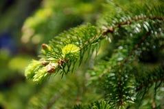 Sprig spruce do verão Fotografia de Stock Royalty Free