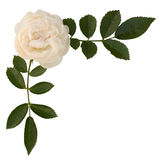 Sprig of tea-rose royalty free stock photos