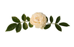 Sprig of tea-rose Royalty Free Stock Image