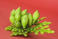 Sprig von Thuja mit Früchten Lizenzfreie Stockfotografie