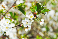 Sprig with white cherry blossoms Stock Photos