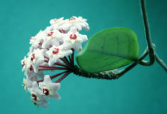 Sprig of white Hoya on turquoise background. Close up Royalty Free Stock Photo