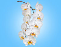 Sprig of white Phalaenopsis orchid on   background. Royalty Free Stock Photography