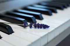 Sprig ?wie?a lawenda na fortepianowych kluczach obraz royalty free