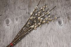 sprig of willow on a wooden background royalty free stock photo