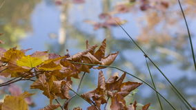 Sprig of wilted leaves on the background of blue lake stock video footage