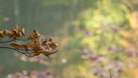 Sprig of wilted leaves stock video footage