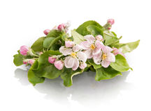 Sprig With Pink Flowers Isolated On White Background Royalty Free Stock Photos