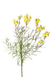 Sprig of yellow Common Toadflax Royalty Free Stock Image