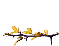 Sprig with yellow leaves Royalty Free Stock Photography