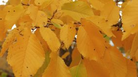 Sprig with yellow leaves. On windy sunny day in autumn stock video