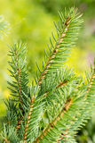 Sprig of young spruce Stock Photography