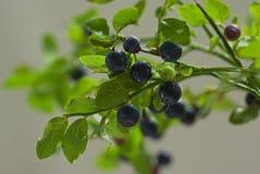 Sprig z świeżymi dojrzałymi czarnymi jagodami z wodnymi kroplami Obrazy Royalty Free