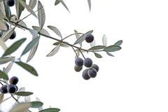 Sprig z czarnymi oliwkami odizolowywać na białym tle Zdjęcia Stock
