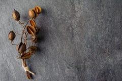 Sprig z pudełkami kwiaty drzewny Pavlovnia Obraz Royalty Free
