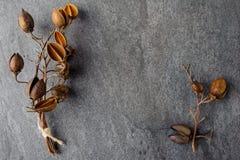 Sprig z pudełkami kwiaty drzewny Pavlovnia Zdjęcia Royalty Free