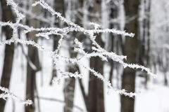 Sprig zakrywający z mrozem drzewo Obraz Royalty Free