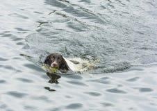 Spriger spaniel swiming Stock Photos