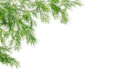 Sprigs зеленого укропа стоковые фото