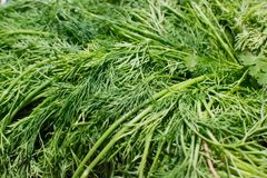 Sprigs или листья травы укропа стоковые фотографии rf
