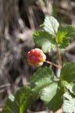 Sprigs морошки с ягодами в природе Стоковая Фотография