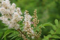 Sprigs с белыми пушистыми цветками и зеленым цветом выходят/ стоковые фотографии rf