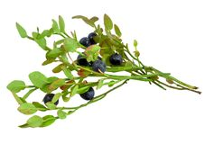Sprigs with blueberries purple juicy ripe berries, isolated on white background Royalty Free Stock Photos