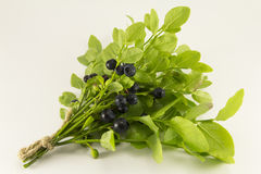 Sprigs of blueberries Stock Photography