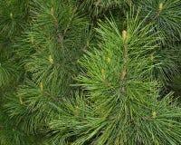Sprigs of cedar Royalty Free Stock Photos