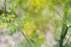 Sprigs of dill Royalty Free Stock Images